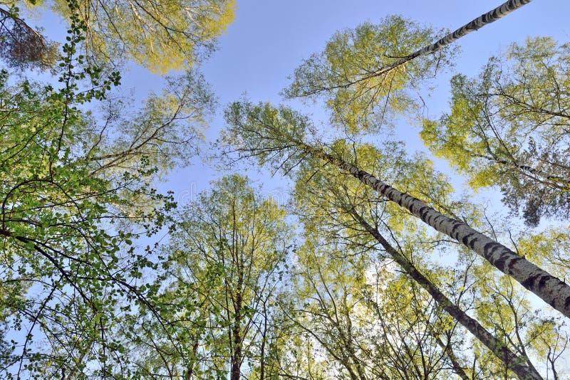 Troncos das árvores com as folhas verdes contra o céu azul foto de stock