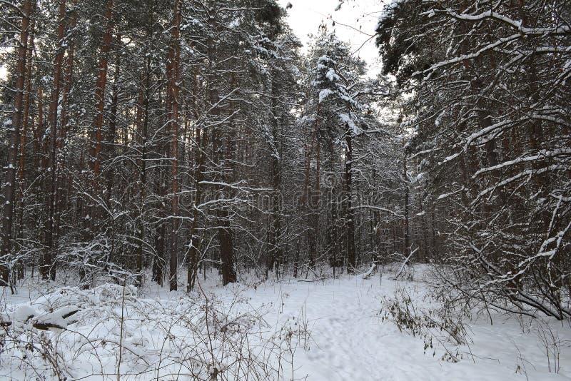 Troncos das árvores em uma floresta abandonada do inverno fotos de stock royalty free