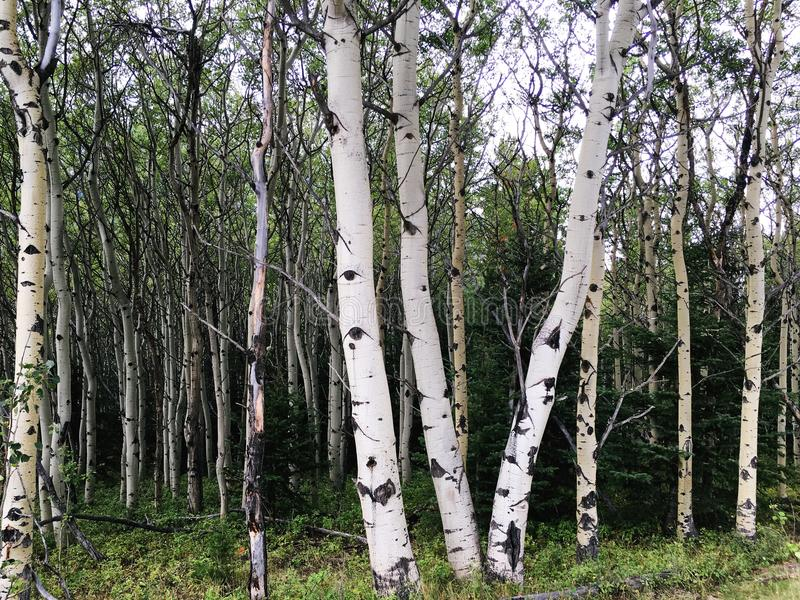 Troncos de árbol de abedul en Alberta Rocky Mountains imagen de archivo libre de regalías