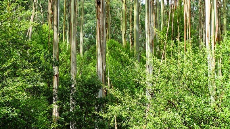 Troncos de árbol blancos fotografía de archivo