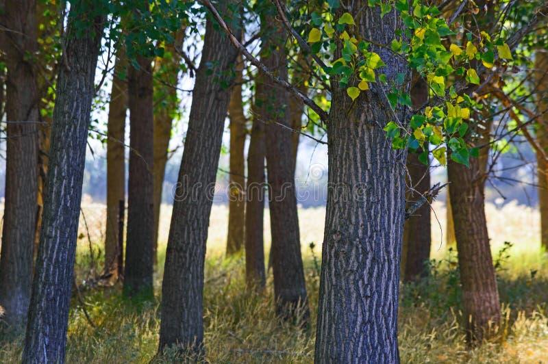 Troncos de árbol de álamo fotos de archivo