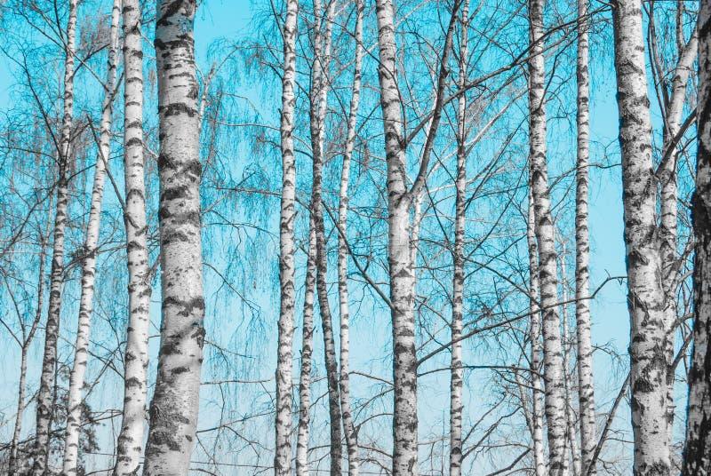Troncos de árbol de abedul imagenes de archivo