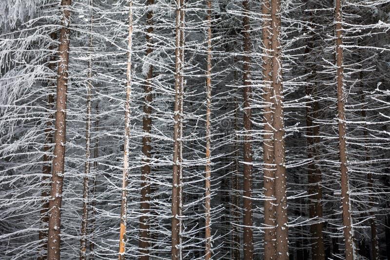 Troncos de árbol de pino cubiertos con nieve en invierno fotos de archivo libres de regalías