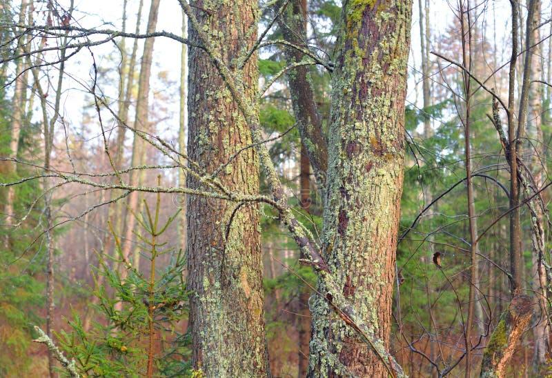 Troncos de árbol en bosque en el otoño fotografía de archivo