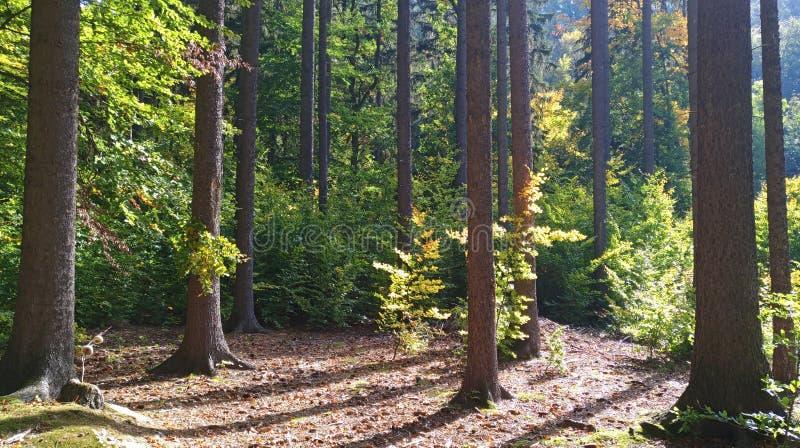 Troncos de árbol en fondo del bosque fotos de archivo libres de regalías