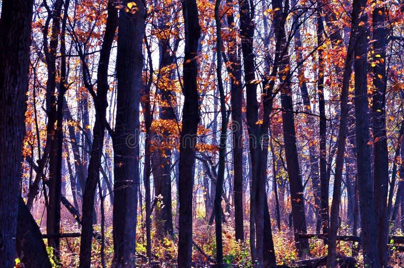 Troncos de árbol en sol del otoño foto de archivo libre de regalías