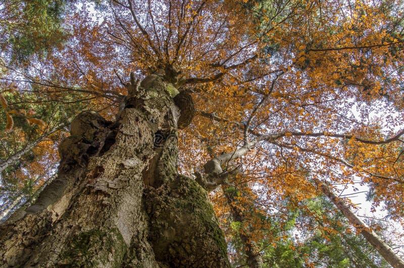 Troncos de árbol grandes en el otoño, visto de debajo foto de archivo libre de regalías