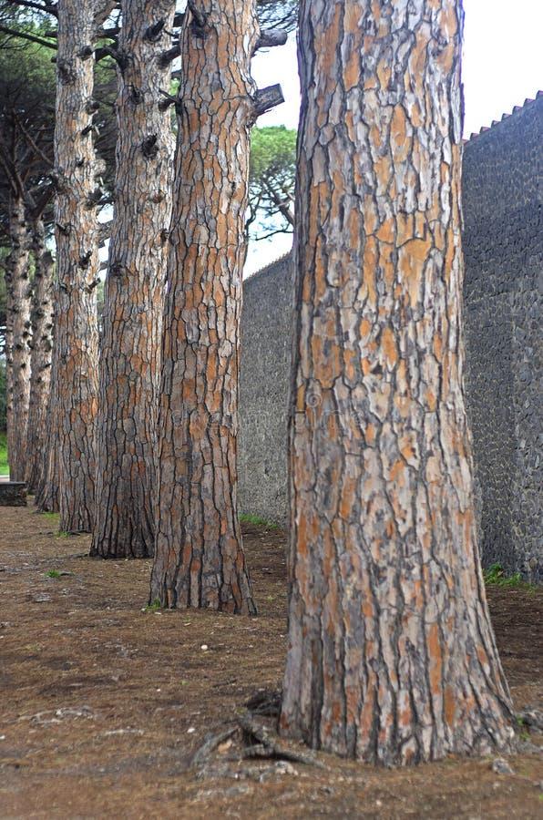 Troncos de árbol de pino imágenes de archivo libres de regalías