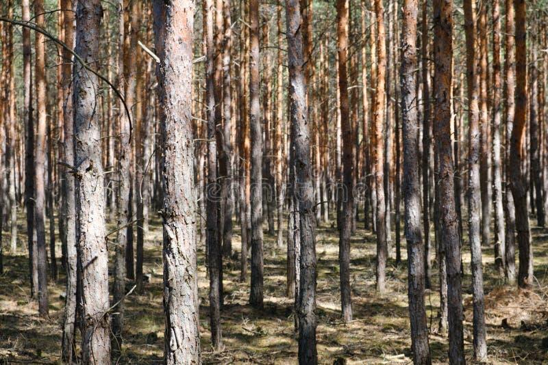Troncos de árbol de pino en bosque - árboles coníferos foto de archivo