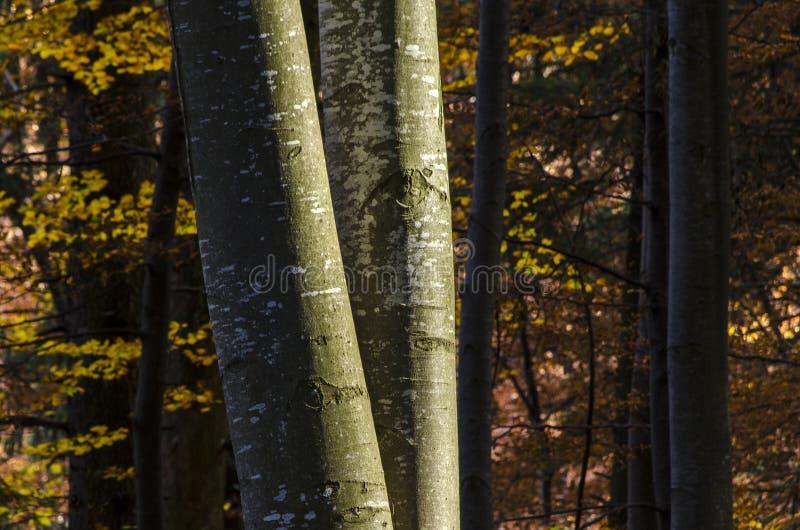 Troncos de árboles de haya en otoño foto de archivo