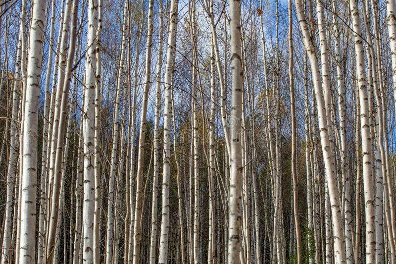 Troncos de árvore brancos da floresta do vidoeiro no outono foto de stock royalty free