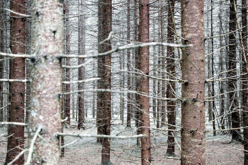 Troncos de árvore calvos na floresta no inverno imagens de stock royalty free
