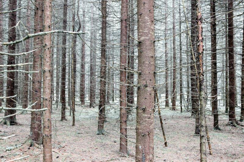 Troncos de árvore calvos na floresta no inverno imagem de stock royalty free