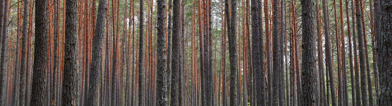 Troncos de árvore da floresta do pinho fotos de stock royalty free