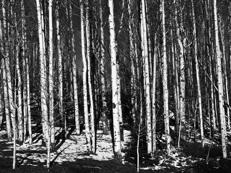 Troncos de árvore de Aspen em preto e branco foto de stock royalty free