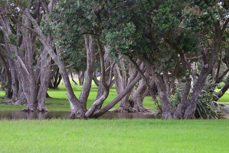 Troncos de árvore de Pohutukawa após a chuva imagens de stock