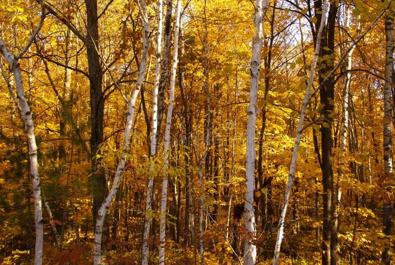 Troncos de árvore do vidoeiro branco contra um fundo das árvores com as folhas amarelas no outono perto de Hinckley Minnesota foto de stock