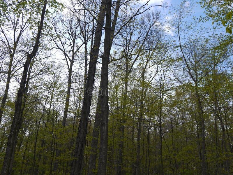 Troncos de árvore longos e céus azuis foto de stock royalty free