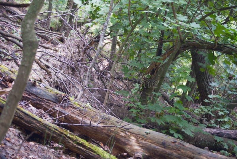 Troncos de árvore quebrados no montanhês foto de stock