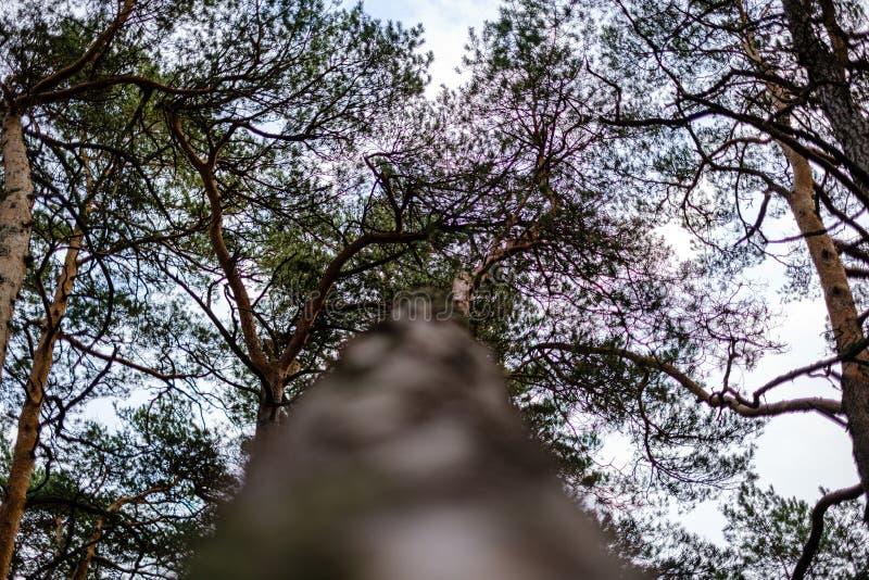 troncos de árvores no outono sem folhas e profundidade superficial do campo contra o céu fotos de stock