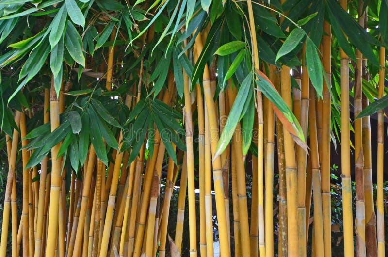 Troncos de bambú amarillos con las hojas verdes foto de archivo