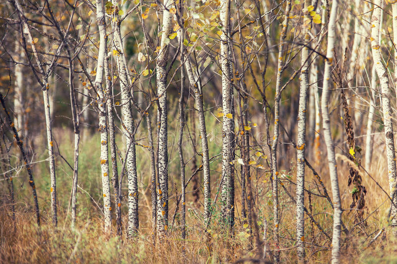 Troncos de los álamos tembloses en el bosque del otoño imagen de archivo