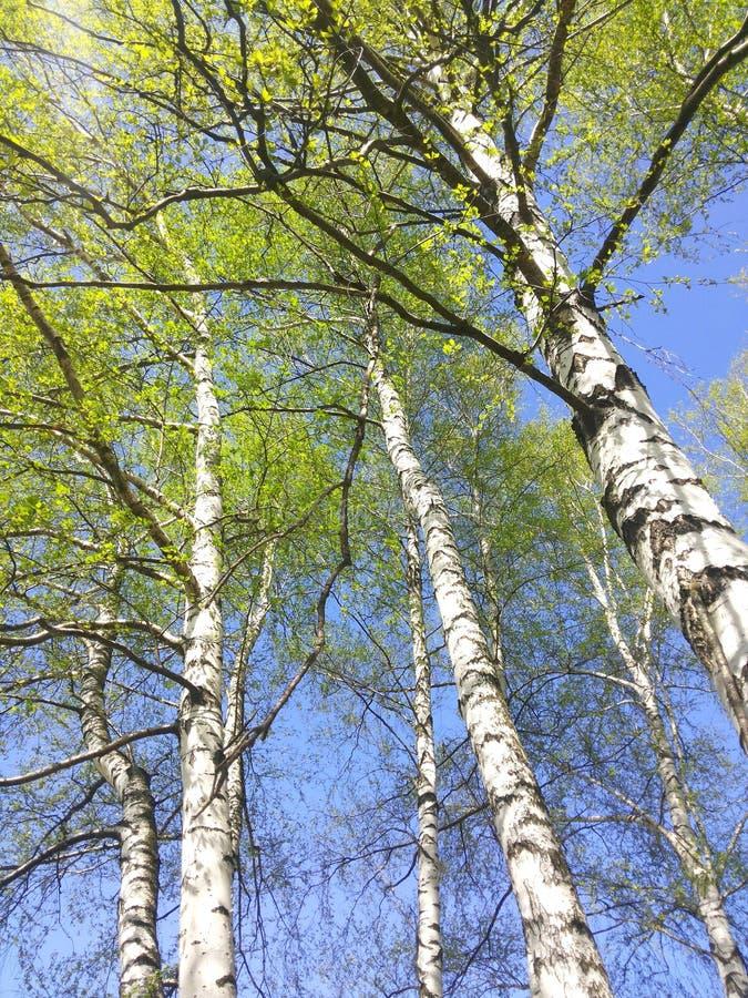 Troncos de los árboles de abedul, toldo del cohete con las hojas jovenes imagen de archivo libre de regalías