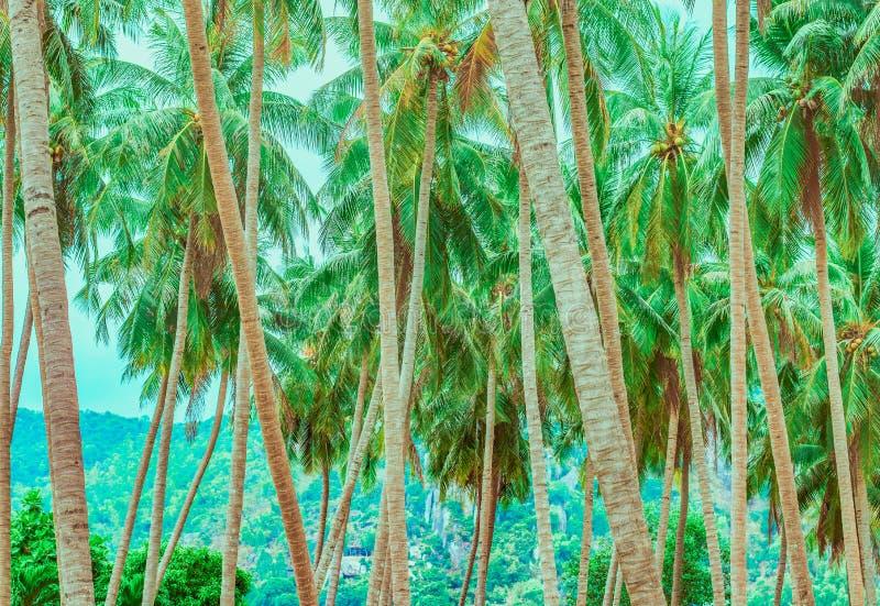 Troncos de palmera y sus tops imagen de archivo libre de regalías