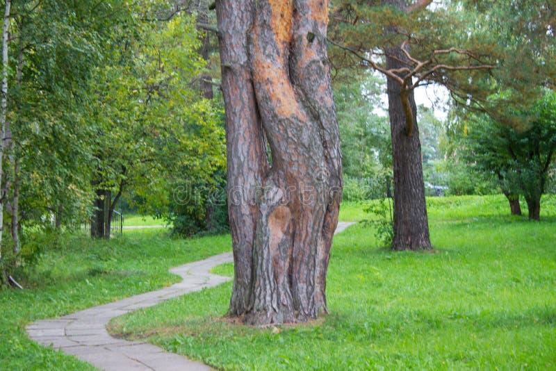 Troncos de pinheiro coalescidos no parque verde, paisagem pitoresca fotografia de stock royalty free