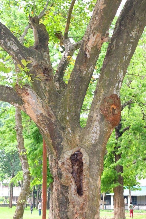 Troncos de ?rvore enormes na cavidade raizes e raio de sol grandes da ?rvore em raizes forestSpring verdes de um prado de uma ?rv foto de stock