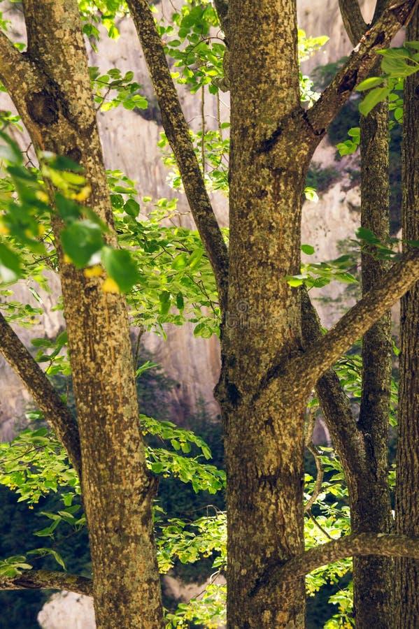 Troncos de Ttree, desfiladeiro de Verdon, França foto de stock royalty free