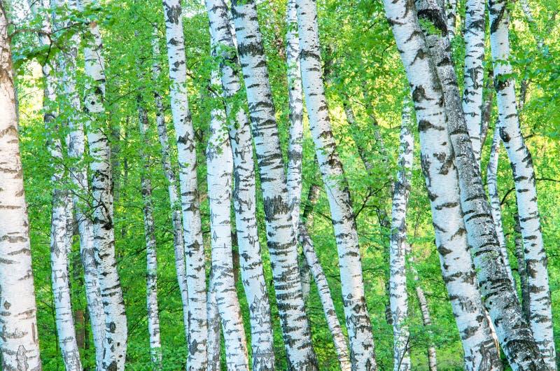 Troncos de um bosque do vidoeiro no amanhecer fotografia de stock