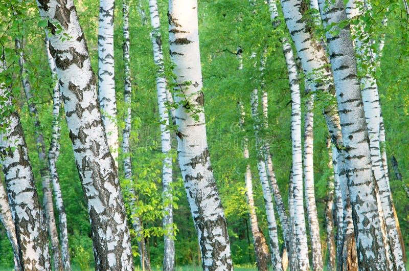 Troncos de um bosque do vidoeiro no amanhecer imagens de stock