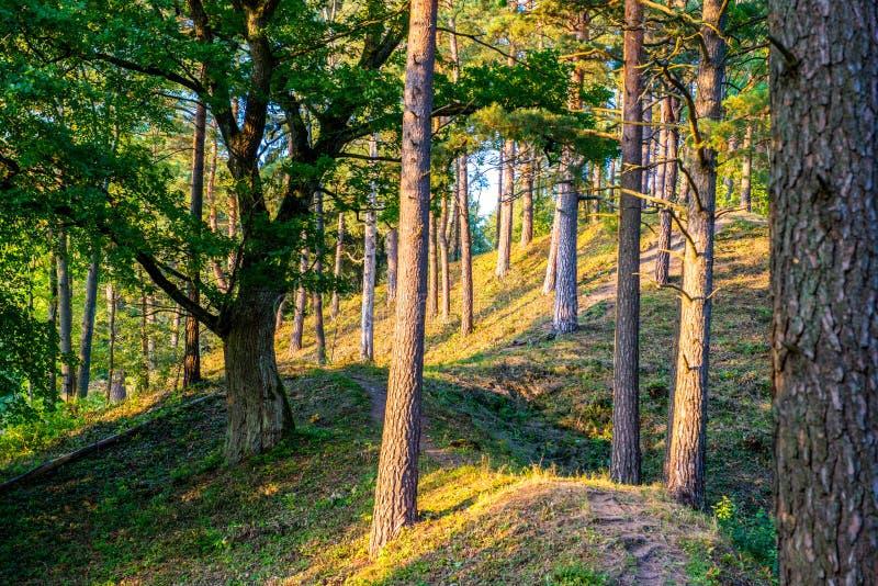 Troncos del árbol forestal foto de archivo libre de regalías