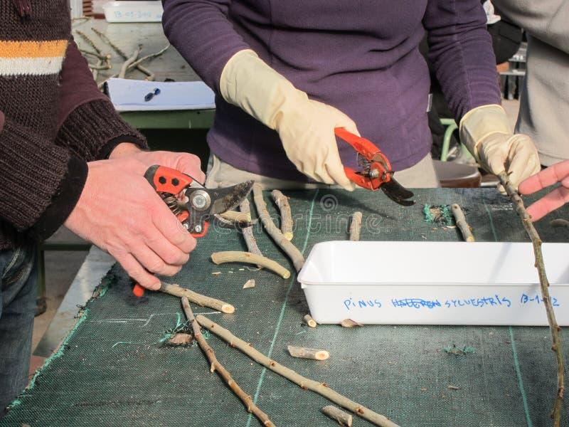 Troncos del corte de los sylvestris del pinus para plantar en un cuarto de niños de la planta imagen de archivo libre de regalías