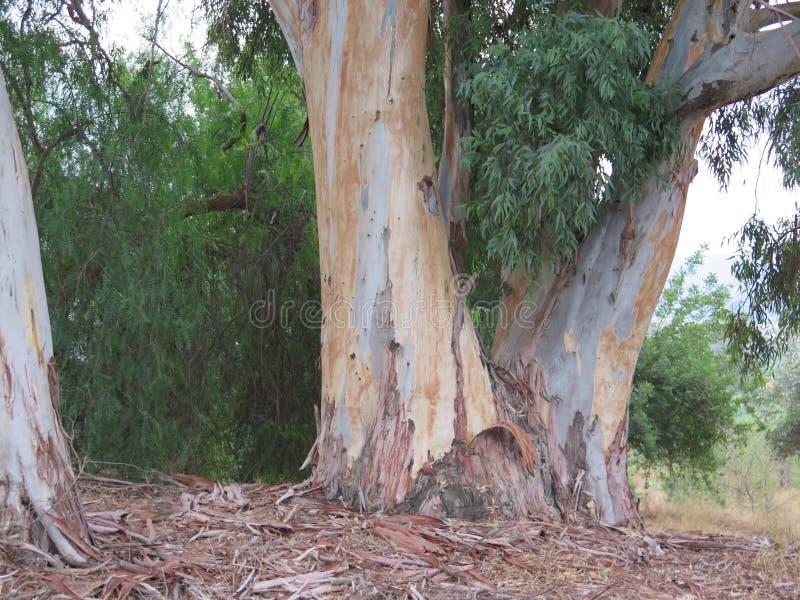 Troncos del eucalipto fotos de archivo
