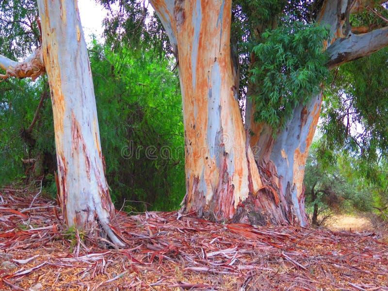 Troncos del eucalipto fotografía de archivo libre de regalías