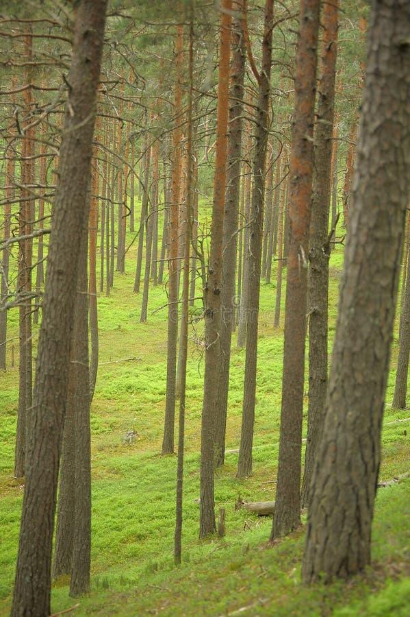 Troncos del pino con el bosque imagen de archivo libre de regalías