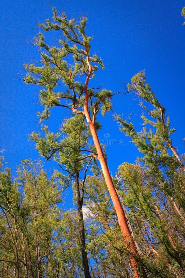 Troncos del rojo de los árboles altos fotos de archivo
