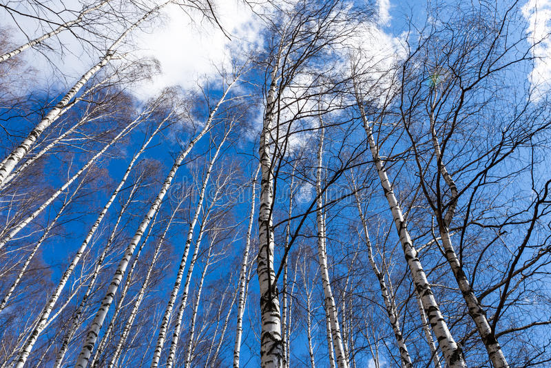 Troncos desnudos de los árboles de abedul foto de archivo libre de regalías