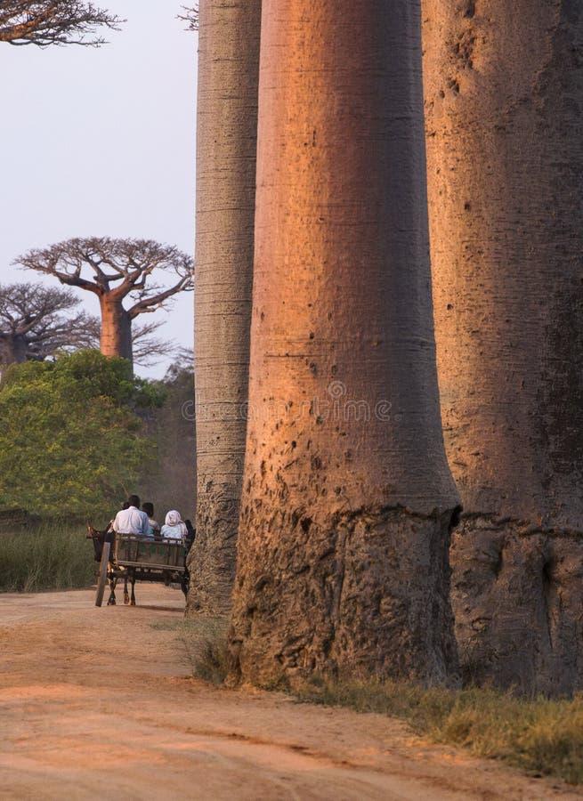 Troncos do Baobab imagens de stock royalty free