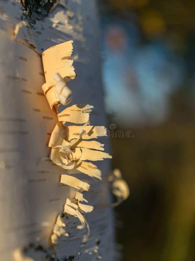 Troncos do vidoeiro branco, casca de árvore abstrata foto de stock royalty free