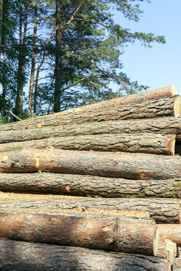 Troncos dos pinheiros, madeira foto de stock