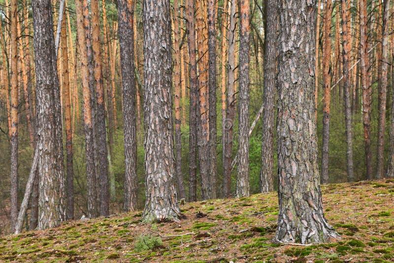 Troncos dos pinheiros Profundidades de uma floresta no dia de verão foto de stock royalty free