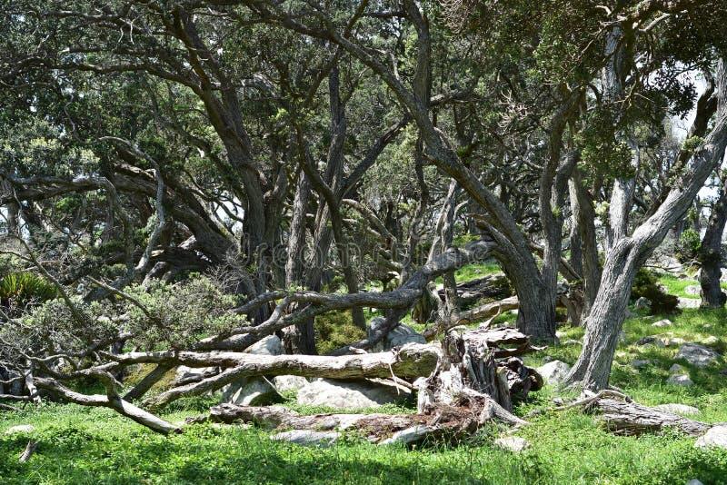 Troncos eretos e caídos de árvores do pohutukawa imagens de stock