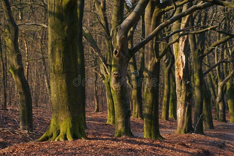 Troncos fe?ricos na madeira do amanhecer durante o outono fotografia de stock