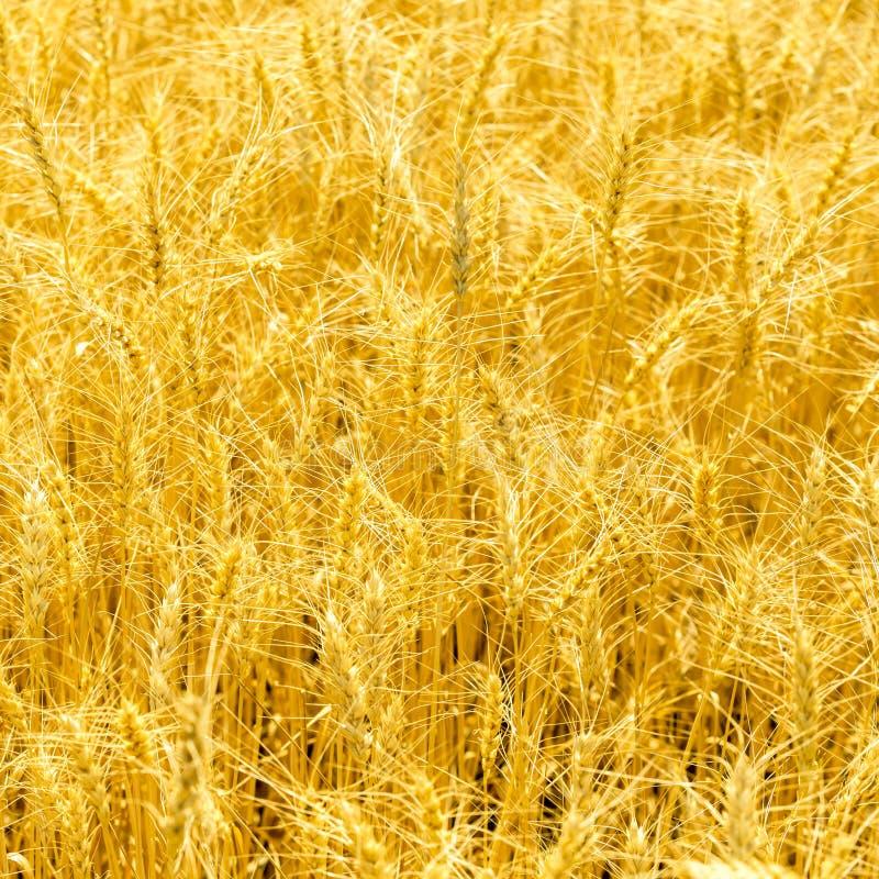 Troncos maduros en los rayos de la luz del sol Campo de trigo de oro en día soleado del otoño foto de archivo