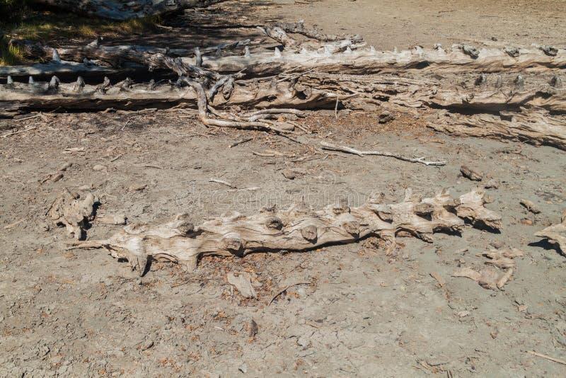 Troncos muertos de los árboles de la araucaria en el parque nacional Herquehue, Chile  foto de archivo