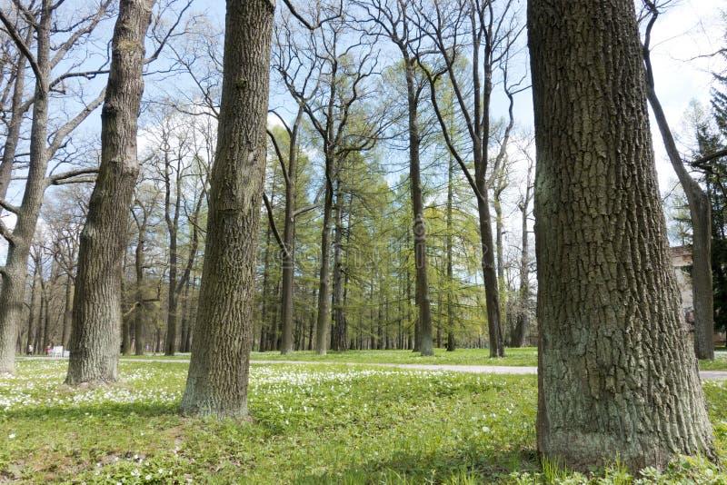 Troncos potentes de árboles en los lados del camino en el parque y de los snowdrops florecientes en una hierba verde foto de archivo libre de regalías