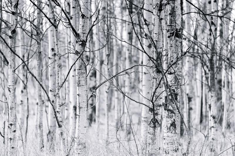 Troncos preto e branco de floresta trembling do álamo tremedor na mola fotografia de stock royalty free